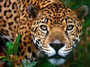 South America Jaguar