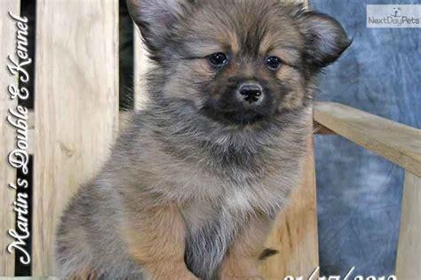 peekapom puppies peek a pom puppy for sale near williamsport pennsylvania 9d08e69f 25d1