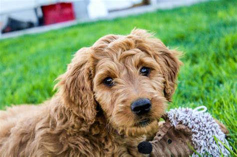 goldendoodle puppy goldendoodle puppy pumpkin placed