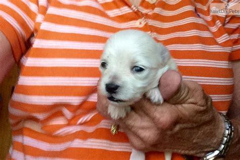 maltese puppies houston maltese puppies for sale in houston stockbroker internships glasgow