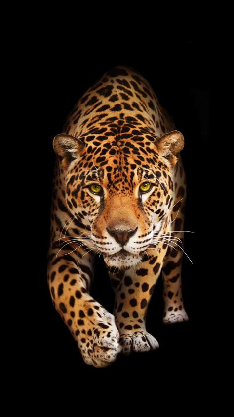 wild cat jaguar hd wallpapers hd wallpapers id
