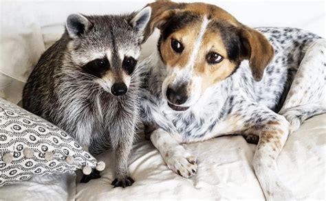 pet raccoon www pixshark com images galleries with a bite