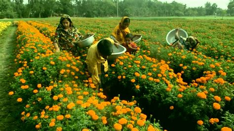 marigold flower garden in bangladesh how to plant grow