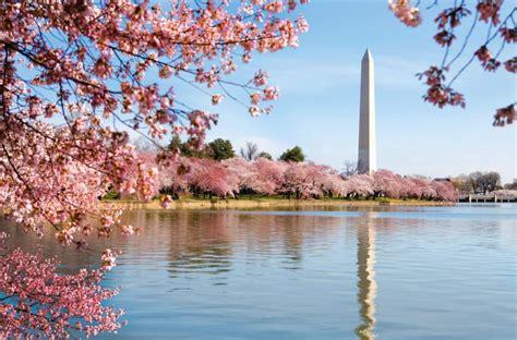 it s cherry blossom season in washington d c