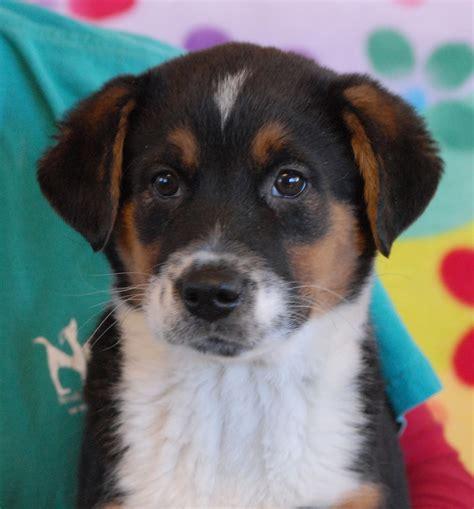 puppies for adoption sacramento shepherd mix sacramento ca puppy or puppies breeds picture