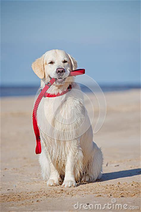 leash golden retriever puppy golden retriever holding a leash stock photo image 46921774