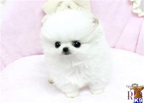 are teacup pomeranians hypoallergenic pomeranian puppy for sale micro precious white pomeranian teacup availab 7 years