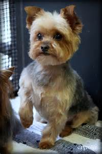 hair cut for yorkie pekachon yorkie terrier dog grooming haircut pictures cryrolfe dogs puppy pinterest haircut