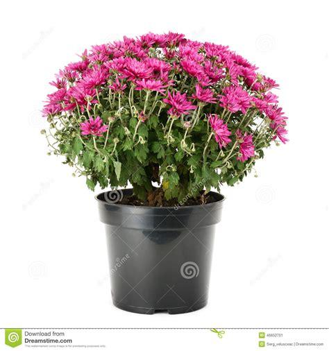 crisantemi in vaso crisantemo di fioritura in vaso da fiori immagine stock