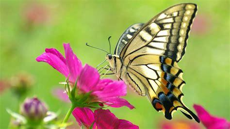 wallpaper bergerak kupu kupu 10 wallpaper kupu kupu cantik terbaru deloiz wallpaper
