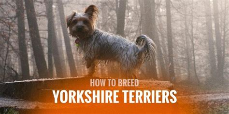how to breed yorkies how to breed terriers mating pregnancy in yorkie