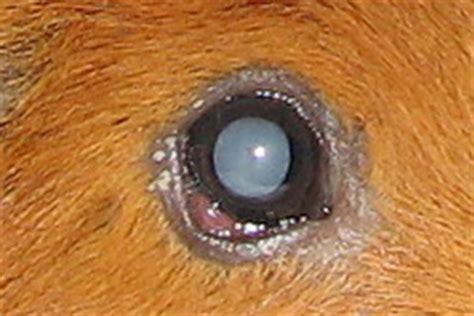 bindehautentzündung wann zum arzt krankheiten bei meerschweinchen alphabetisch sortiert