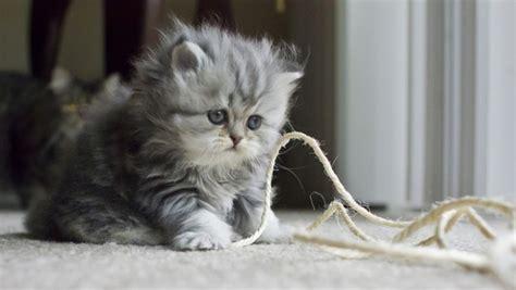 memelihara kucing persia tips memberi makan kucing persia memelihara kucing persia tips memberi makan kucing persia