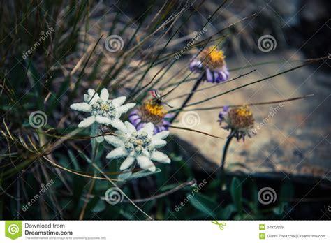 edelweiss fiore alpino fiore alpino dell edelweiss immagine stock immagine
