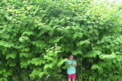 Everything you need to know about Japanese knotweed