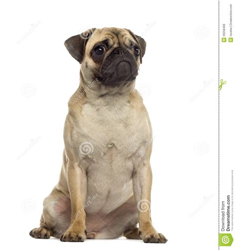 how to a pug to sit pug sitting and looking away stock photo image 39258468