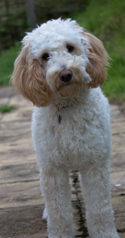 goldendoodle puppy breeders in colorado f1b medium goldendoodles puppies for sale