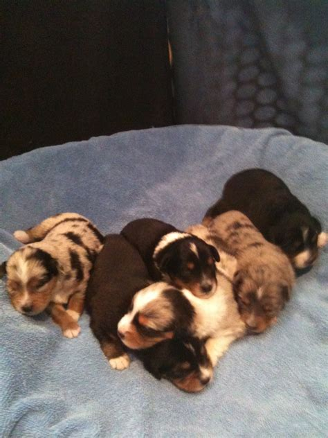 two week puppies puppy pictures alangus mini aussies a