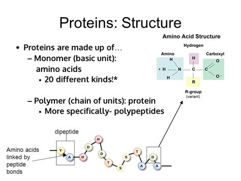 a protein is a polymer of macromolecules ppt