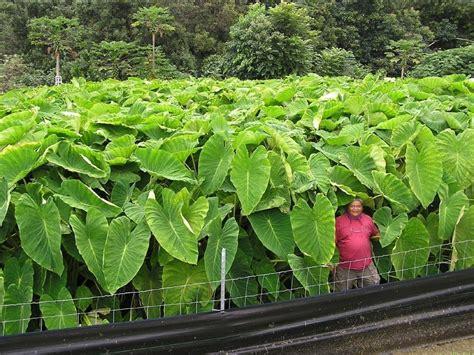 taro leaves plant care polynesian produce stand lehua taro kalo for poi colocasia hawaii elephant ear uh 85
