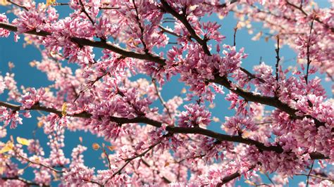 wallpaper 4k pink pink blossoms 4k wallpaper uhd images