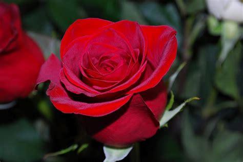 imagenes wasap rosa fotos de rosas mas bellas del mundo imagui