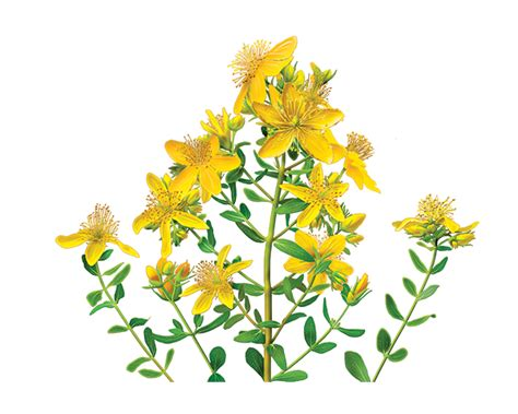 st john s wort herbal supplement herbal teas