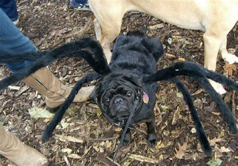 black pug spider costume related keywords suggestions for spider pug