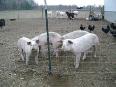How To Raise Feeder Pigs how to raise a pig for food pigs and food