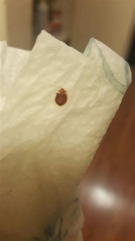 bed bugs seattle recent bed bugs incidents raise concerns of the school districts in seattle king