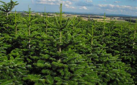 real xmas trees uk fabulous real christmas trees noble