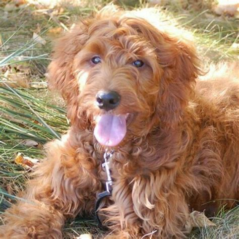 Irish Setter Poodle Mix | irish setter poodle mix maybe one day pinterest