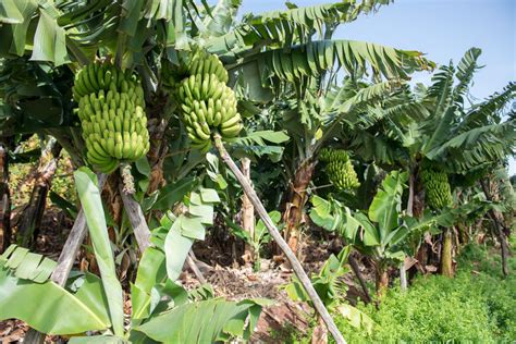 Can You Grow Fruit Trees Indoors - how to plant banana seeds ebay