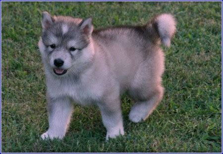 wolf hybrid puppies adoption grey wolf hybrid dogs pet photos gallery okbq0lw3ed