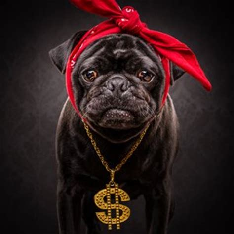 notorious pug the pug notorious pug