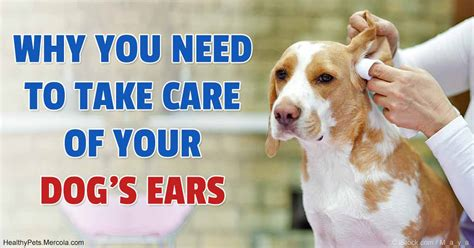 chronic ear infections in dogs delivery and shipping rick s deli