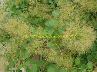 grand pot de fleur 1717 cassia floribunda s 233 n 233 arbuste