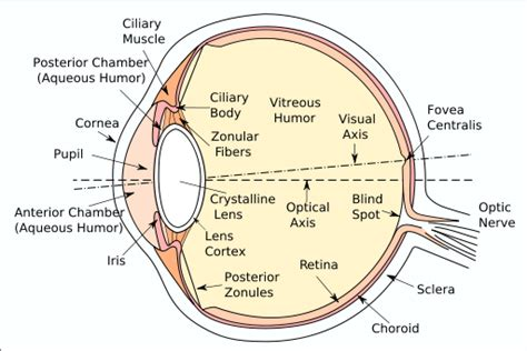 eyeball diagram labeled draw a labeled diagram of human eye write the functions of
