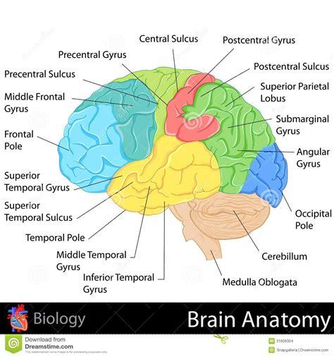 3d brain diagram brain anatomy stock illustration illustration of