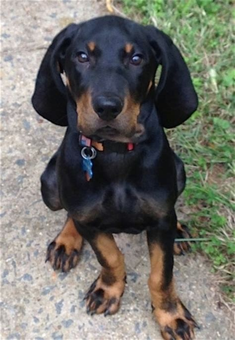 black and coonhound puppy black and coonhound breed information and pictures
