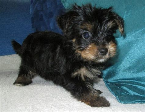 yorkies for sale in birmingham yorkie puppy for sale ready now birmingham west midlands pets4homes