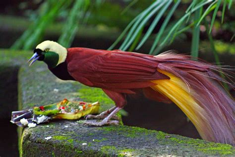 10 burung cendrawasih yang cantik dan sangat indah pecintabinatang