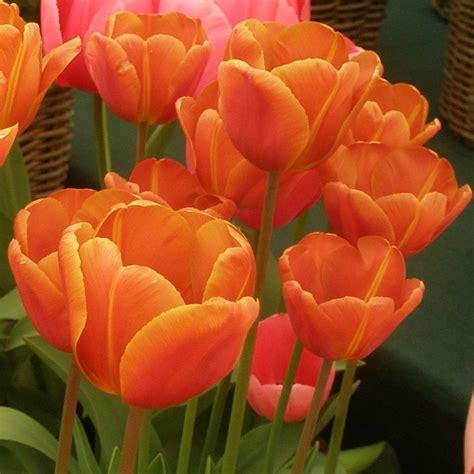 Tulip Brown by Tulip Brown Sugar Pheasant Acre Plants Uk