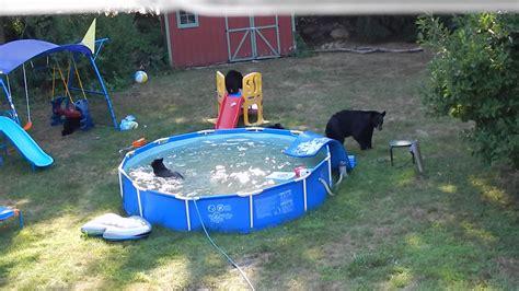 Bears Backyard Pool Family Of Bears Take Backyard Swimming Pool Viral
