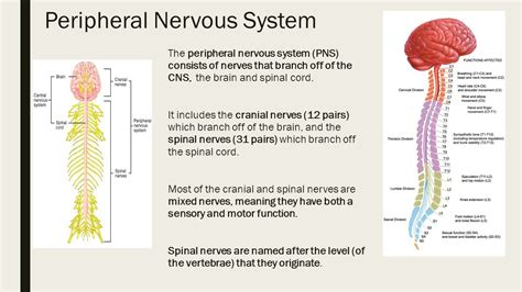 Section 35 2 The Nervous System by 100 Cranial Nerve Study Guide Human Anatomy Lab
