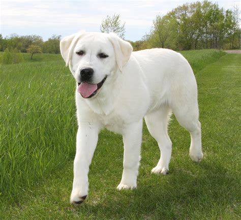 white lab puppies picture suggestion for white lab puppy pictures