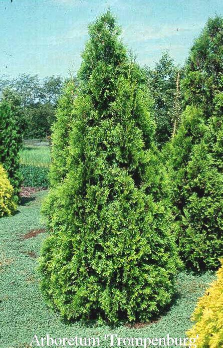 thuja occidentalis brabant picture and description of thuja occidentalis brabant