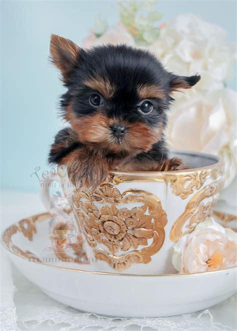 teacup yorkies tiniest teacup yorkie puppy for sale teacups puppies