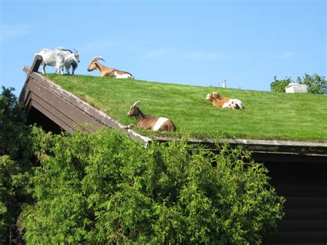 Goats On Roof Door County by Sustainability And Green Buildings Charles Lewis