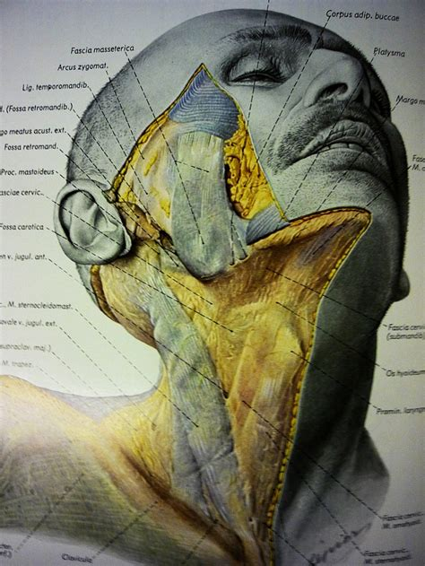 anatomy book with cadaver pictures human anatomy neck the unravelling of al cook